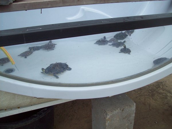 Quelques photos de mes tortues...