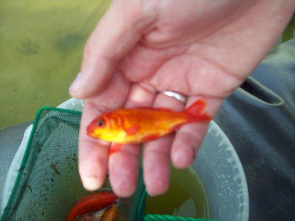 Les poissons qui sont passé de mon petit étang situé à l'avant de mon habitation à l'étang situé dans mon jardin...