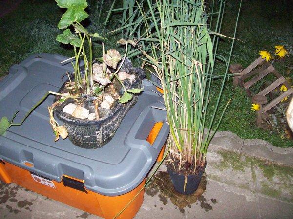 Quelques photos de plantes et de Koi que Mme FANIEL m'a donné...
