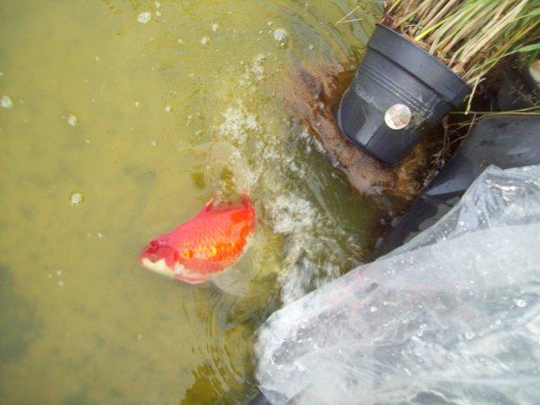Mes 2 nouveaux poissons pour l'étang dans le jardin... 2 poisson rouge à long voiles d'environs 35cm...