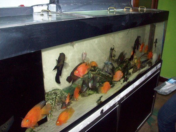 Quelques photos de l'aqua de 500 litres placé dans ma salle à manger avant qu'il ne parte car il est vendu...