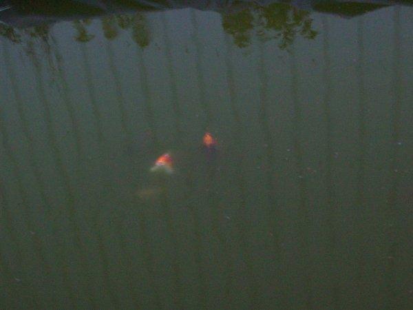Quelques photos de mon étangs et des poissons...