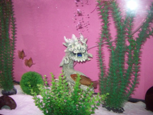 Quelques photos de mes deux dragons dans les aquas de mon salon...