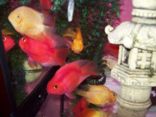 Les nouveaux red parrot de madame ( rouge et jaune flash )...