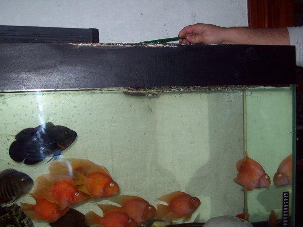 Après quelques jours ou l'aqua a fonctionné, on vide le 500 litres dans lequel les poissons étaient et on les transfèrent dans le Grand ;-)