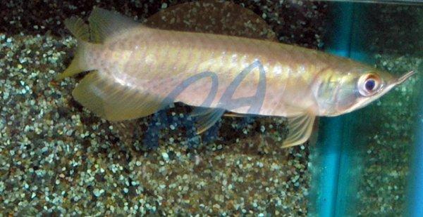 Mon nouveau fish, mon sclerophage Green...