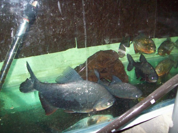 Quelques photos de mes piranhas et de mes grands PACU...