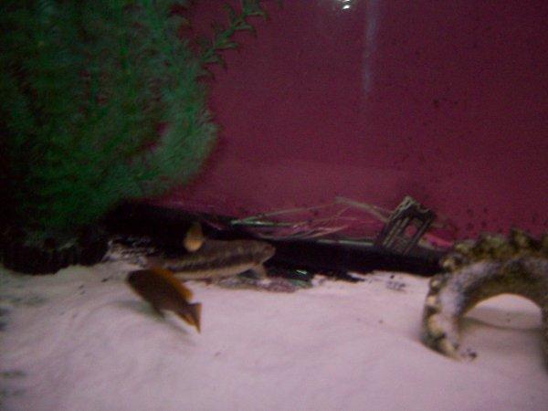 Des nouveaux cichlidés et mangeurs d'algues que Christophe m'a donné