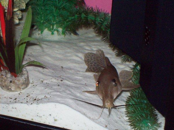 Quelques photos de mon petit aquarium avec le poisson giraffe qui grandit petit à petit...