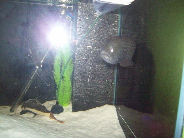 de retour dans mon grand aqua avec mon poisson couteau qui est de retour dans son aqua et le learius pictus...