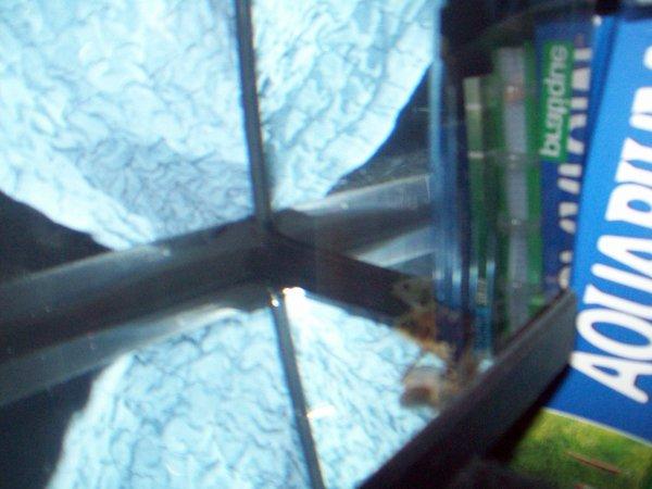 Mon 20 litres... Avec l'arowana silver et mon nouveau pseudoplatystoma