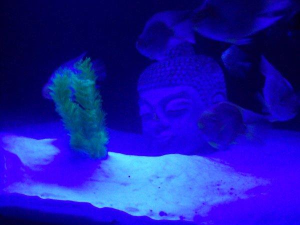 De rerour dans mon grand aqua avec l'arrivée de 2 nouveaux Red Parrot bordeaux et quelques photos du reste des occupants...
