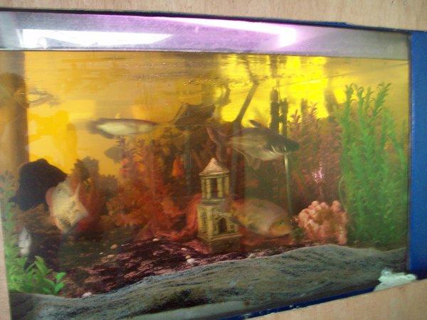 Petit tour chez mon frère et quelques photos de son aquarium de 1440 Litres avec son sclerophage jardini et les autres occupants de son aqua avant que je fasse le changement d'eau suite à son opération du genoux... La preuve ;-)