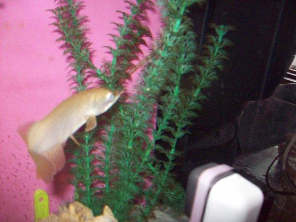 Quelques photos de l'aqua dans mon salon avec mes arowanas et scleropages...