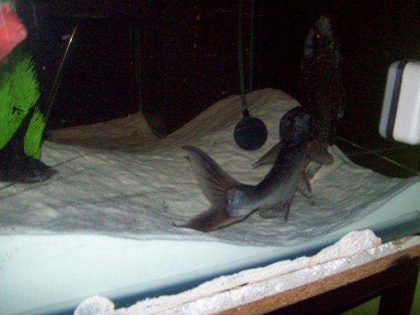Quelques photos de mon grand aqua dans ma salle à manger...