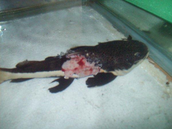 Mon phractocéphalus isolé après s'être fait attaquer par mes piranhas...