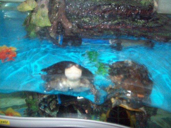 Mes tortues dans l'aqua Tugaland...
