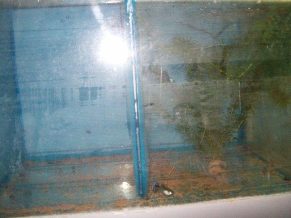 Quelques photos de l'hémichromis lifalili et les guppys de madame...