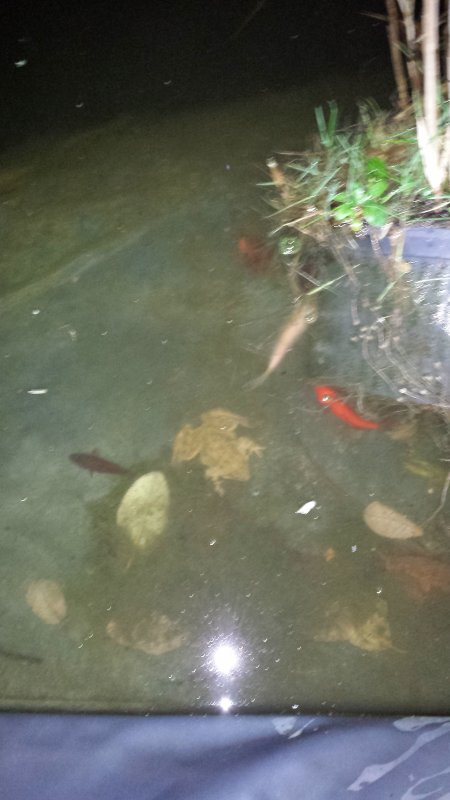 Suite à mon déménagement, on rebouche mon étang de 48000 litres et on met les fish et la grenouille dans l'étang de mon frère...