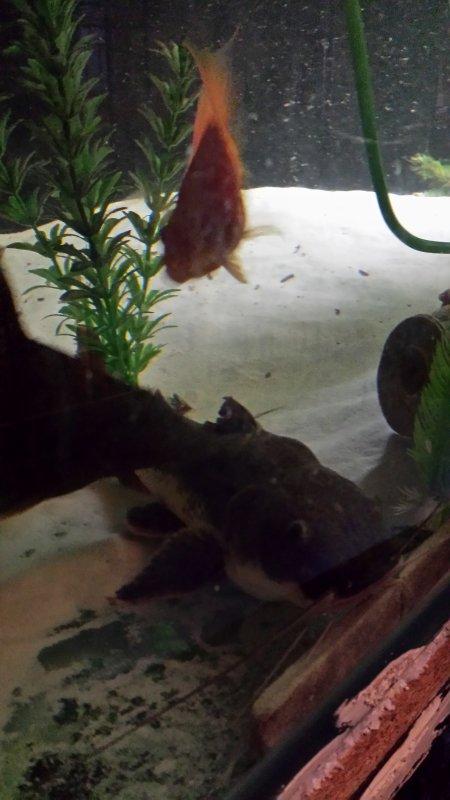 Quelques photos de mon Arowana, de mon pseudoplatystoma et de mon nouveau poisson chat...