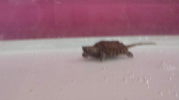 Ma nouvelle tortue alligator dans son nouvel aqua...
