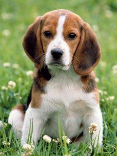 Chien beagle <3