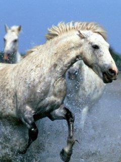 Cheval galopant dans l'eau <33