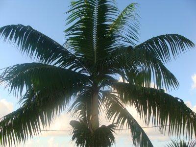 palmier 31