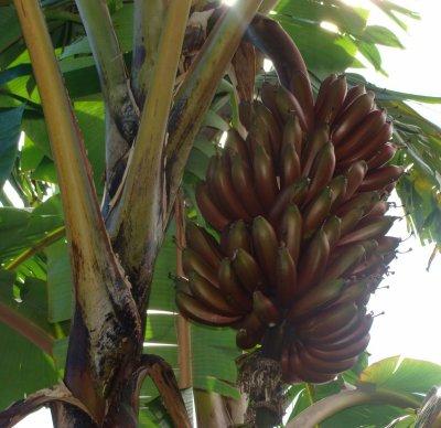 banane R