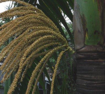 un balai , bouquet de palmiste