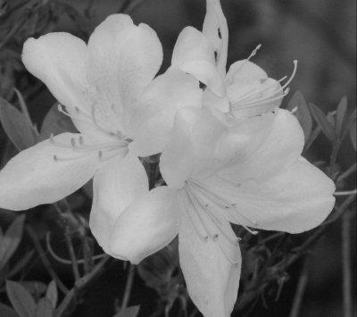 noir et blanc pureté de lyce