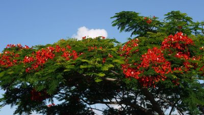 flamboyant rose  et