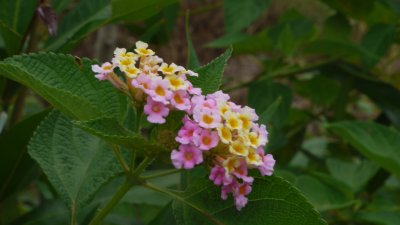 fleurs de galabère