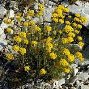 HELICRISO. Helichrysum arenarium, by Mª Luz Diez.