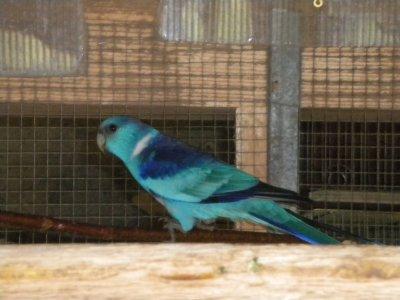 Couple de Barnard bleu