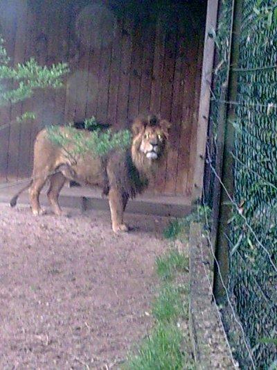 les lions et tigres blanc au zoo d'amnéville