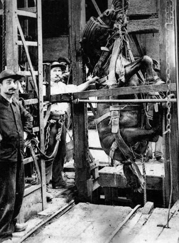 Descente aux enfers d'un cheval de mine au début du XX ème.