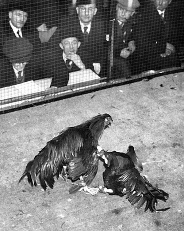 Le coq de combat poème d' Henri Raimbaut.