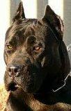 Photo de dogo-presa-canario