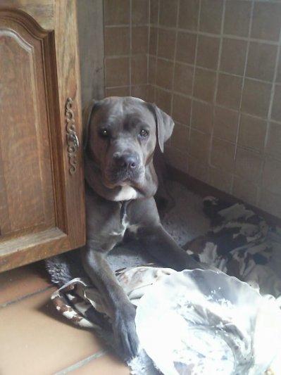 le 24 mars BESS BLUE ME a donnee naissane a 6 beaux bebes (2 males et 4 femelles) bleus ,bringe ..... ils seront disponible a partir du 25mai  .pour plus d info me laisser 1 mess ou sur facebook:laurence hannequin vaglio