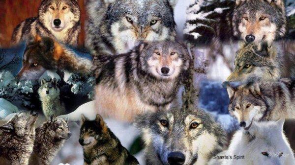 Je suis une passionée des loup et je les ai toujours trouver très beaux