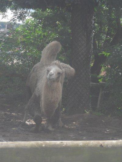 dromadaire ou chameau?