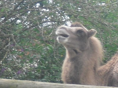 un dromadaire ou un chameau qui braille