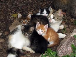 Les Solitaires et les Chats Domestiques