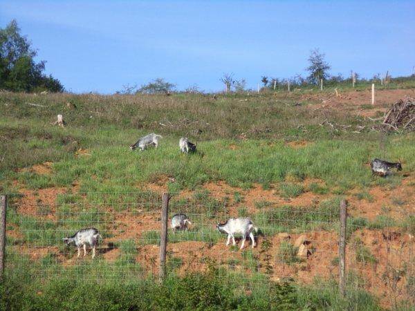 les chèvres sont revenue