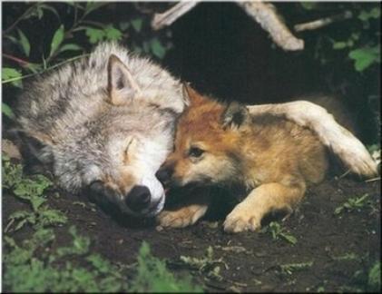 loups-louves-36