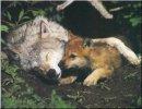 Photo de loups-louves-36