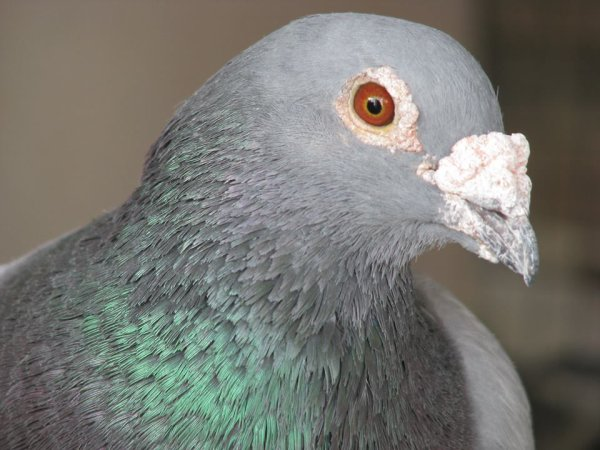 LA MOTIVATION DU PIGEON