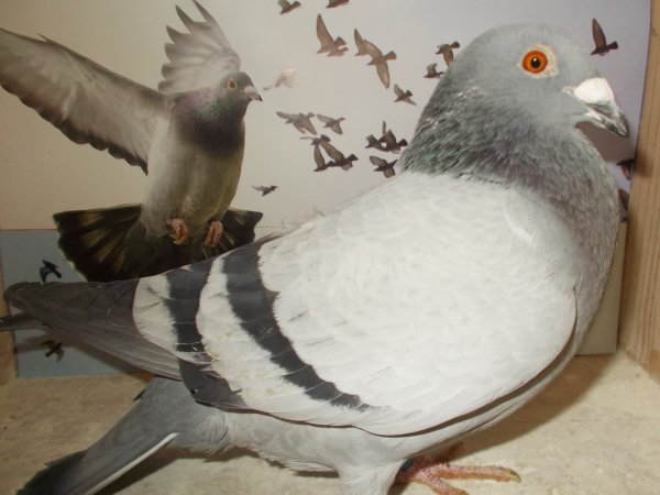 PARLONS PIGEONS  SELECTION 2018