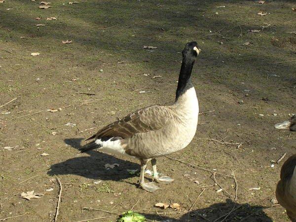 Voici un joli canard coureur indien